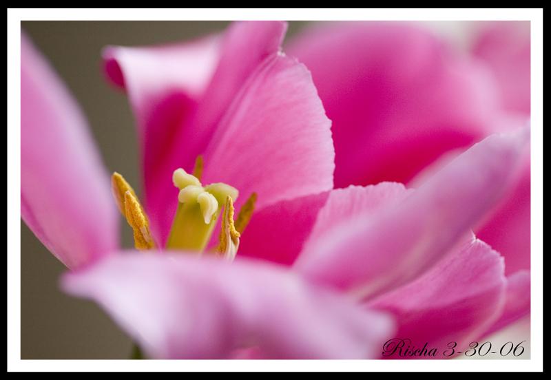Pinktulip33006_framedresized