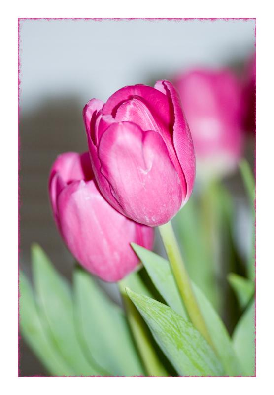 Tulipsinkededgeac_action33006
