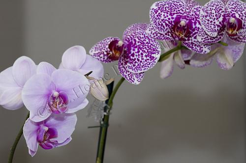 Valentinesorchids2resize