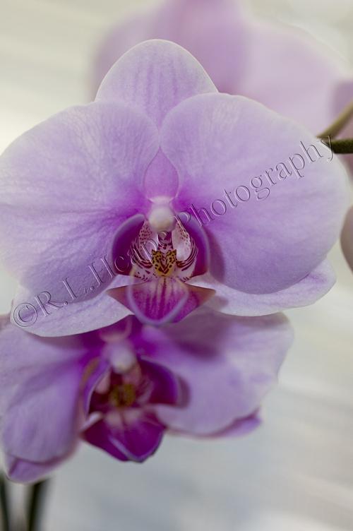 Valentinesorchids4resize